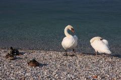 Cygne et canards au bord de lac Images libres de droits