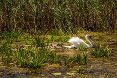 Cygne et jeunes cygnes nageant dans le delta de Danube Photos libres de droits