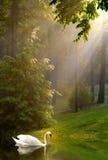 Cygne et soleil de couler le matin brumeux Images stock