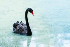 Cygne flottant sur l'eau au lever de soleil du jour photo libre de droits