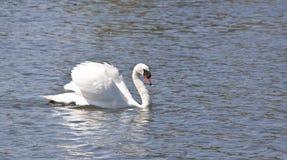 Cygne flottant sur le lac Image libre de droits