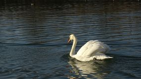 Cygne flottant sur un ?tang photos stock