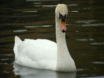Cygne, grand Photos libres de droits