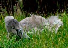 Cygne juvénile dans l'herbe Image stock