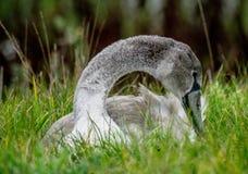 Cygne juvénile dans l'herbe Image libre de droits