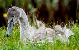 Cygne juvénile dans l'herbe Photo stock