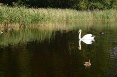 Cygne majestueux blanc sur le lac photo libre de droits