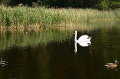 Cygne majestueux blanc sur le lac photos libres de droits