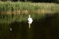 Cygne majestueux blanc sur le lac images libres de droits