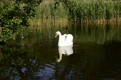 Cygne majestueux blanc sur le lac photo stock