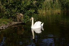Cygne majestueux blanc sur le lac photographie stock libre de droits