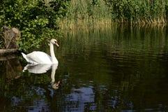 Cygne majestueux blanc sur le lac image stock
