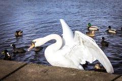 Cygne mangeant sur le lac avec des canards Photographie stock libre de droits