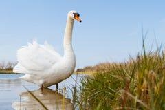 Cygne marchant dans l'eau près du rivage Photographie stock libre de droits