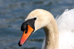 cygne muet Photos stock