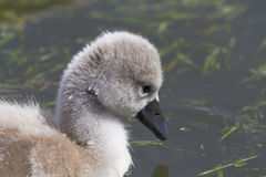 Cygne muet images stock
