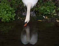 Cygne muet adulte sur la berge, eau potable de la rivière, avec sa réflexion sur l'eau photo libre de droits