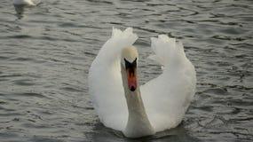 Cygne muet dans l'eau image libre de droits