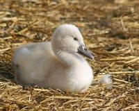 Cygne muet de bébé adorable juste 3 jours de  Repos sur la literie faite de paille Images libres de droits