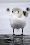 Cygne muet lissant sur le lac figé Images stock