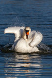 Cygne muet (olor de Cygnus) Photos stock
