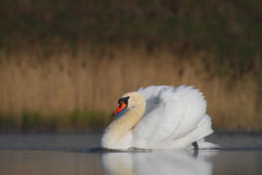 Cygne muet Olor de Cygnus Photos stock