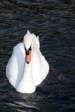 Cygne muet, olor de Cygnus, Lago di Grada, Italie Photographie stock libre de droits