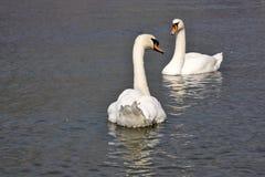 Cygne muet, olor de Cygnus, Lago di Grada, Italie Photos stock