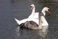 Cygne muet, olor de Cygnus, Lago di Grada, Italie Images libres de droits