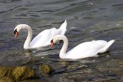 Cygne muet, olor de Cygnus, Lago di Grada, Italie Photo libre de droits