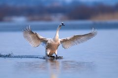 Cygne muet, olor de Cygnus, oiseau simple en vol Photos stock