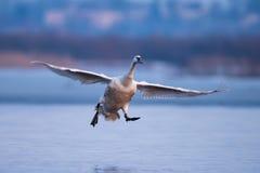 Cygne muet, olor de Cygnus, oiseau simple en vol Photo libre de droits