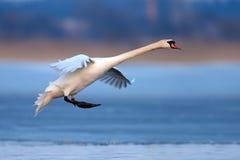 Cygne muet, olor de Cygnus, oiseau simple en vol Image libre de droits