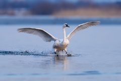 Cygne muet, olor de Cygnus, oiseau simple en vol Images libres de droits