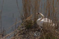 Cygne muet prenant soin de son nid à côté du bord de mer photos libres de droits