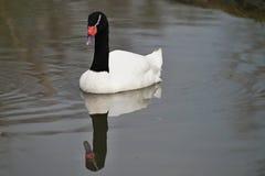 cygne Noir-étranglé sur l'étang Image stock