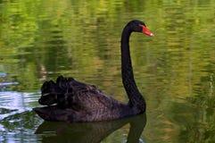 Cygne noir Photo libre de droits