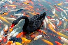 Cygne noir photos stock