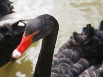 Cygne noir Photo stock
