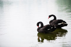 Cygne noir Images stock