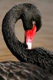 cygne noir images stock