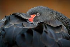 Cygne noir, atratus de Cygnus, grand waterbird d'Australie Oiseau dormant sur le plumage Scène de faune de nature image stock