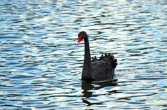 Cygne noir australien simple sur un étang bleu ondulé Photo libre de droits
