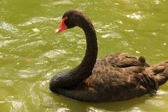 Cygne noir en parc de faune de Pékin images libres de droits