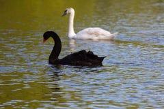 Cygne noir et blanc sur le lac Image libre de droits