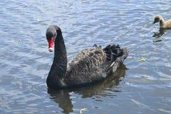 Cygne noir nageant avec le jeune cygne photo libre de droits