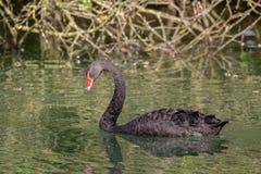 Cygne noir sauvage images libres de droits