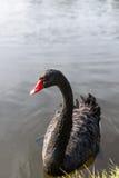 Cygne noir sur l'eau bleue de lac dans le jour ensoleillé Image libre de droits