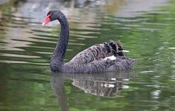 Cygne noir unique dans un lac, haute photo de définition de cet aviaire merveilleux en Amérique du Sud image stock