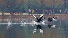 Cygne noir vers le lac occidental à Hangzhou, Photographie stock libre de droits